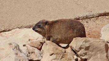 lapin de montagne assis entre les rochers
