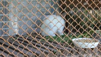conejo blanco en jaula 18101_01 video