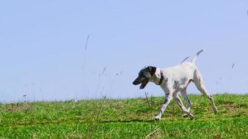 cane dalmata che attraversa il prato verde