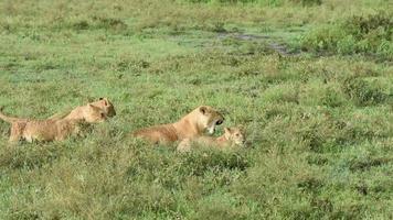 Löwin und Junge im Gras spielen und lecken video