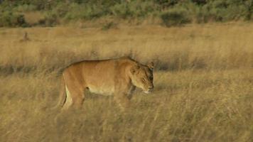Löwin geht