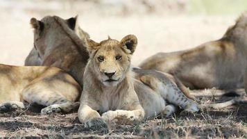 Lion resting in Serengeti video