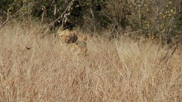 Löwen gehen