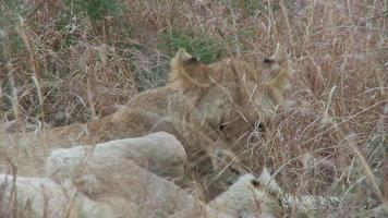Löwe geht