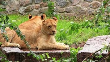 leoni africani video