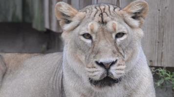 Asiatic lion video