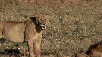 leonessa che cammina