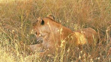 Lioness with a cub, Masai Mara video