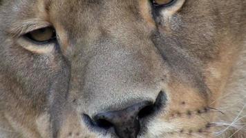 dettaglio di un leone