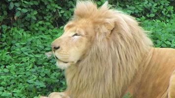 leão branco bocejando video