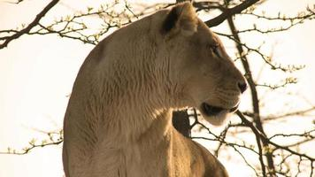 Powerful Lioness Yawns and Walks to her love video