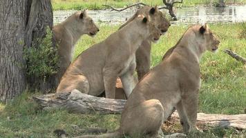 manada de leones mirando atentamente a la presa