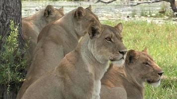 orgulho dos leões olhando atentamente para a presa