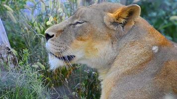 cabeça de leão de perto video