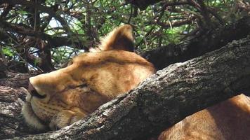 female lion sleeping