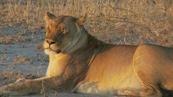 Löwe in Ruhe