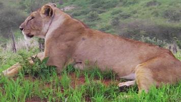 female lion sitting