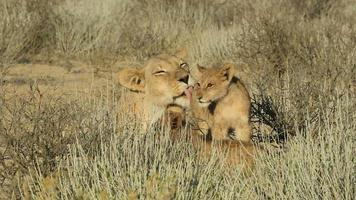 Lioness with cubs video