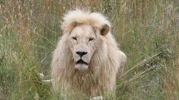 White male lion yawning. He then gets up and walks off.