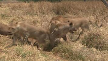 Pride of lionesses feeding with male moving in to take over food