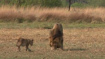 Lion male with three month old cubs video