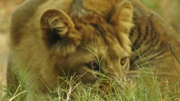 il leone asiatico, noto anche come leone indiano o leone persiano, è una sottospecie di leone che esiste come una singola popolazione nello stato indiano del Gujarat. video