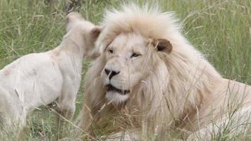 weißer Löwenbaby packt seinen Vater um den Hals. video