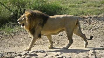 leone sta camminando e guardando due volte la fotocamera. video