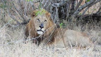grande leão africano video