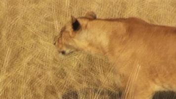 Löwe geht durch Grasland