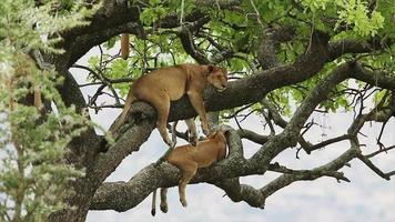 Lions sleeping in a tree