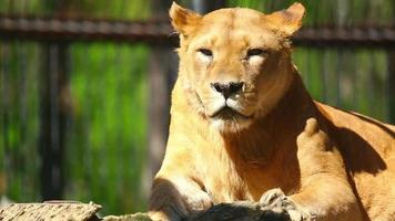 Lioness video
