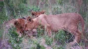 giovani cuccioli di leone che giocano nell'erba video
