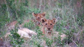 jovens filhotes de leão deitados na grama video