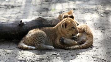 due buffi cuccioli di liger.