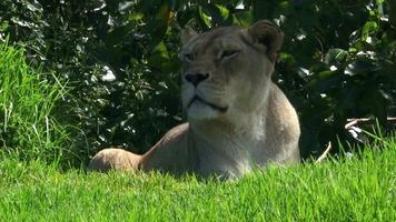 leoa africana deitada na grama verde