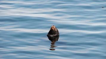 testa di leone di mare fuori dall'acqua Monterey California