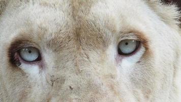 feche os olhos de leão branco.