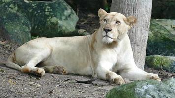 female lion resting near tree