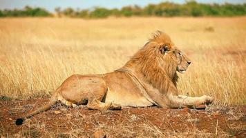 männlicher Löwe in Masai Mara video