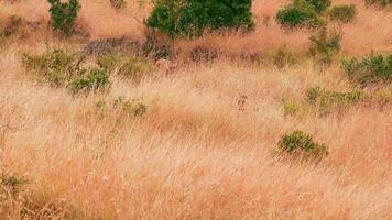 weibliche Löwen in Masai Mara video