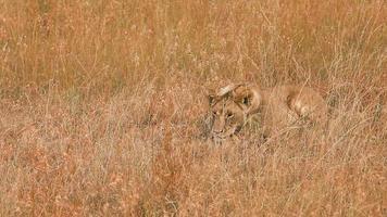weiblicher Löwe in Masai Mara video