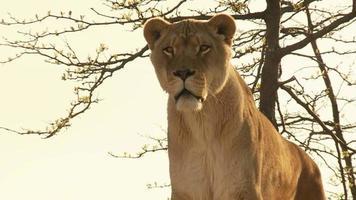 leeuw staren recht vooruit hd