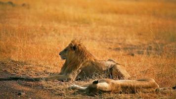 Paarung Löwen in Masai Mara video