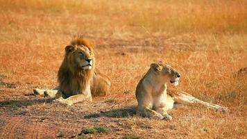 acasalando leões em masai mara