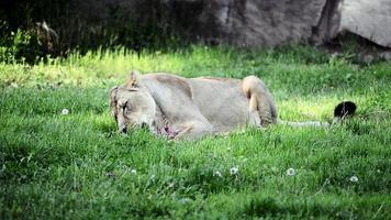 leão comendo na grama verde video