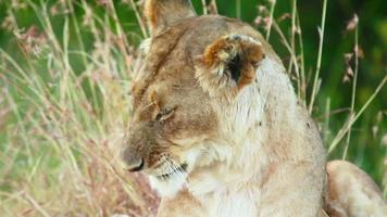Lioness licking itself, Masai Mara video