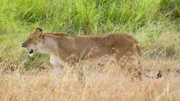Lioness walking in the grass, Masai Mara video