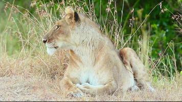 Lioness yawning in the grass, Masai Mara video