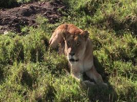 Löwin brüllen
